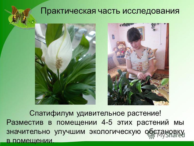 Практическая часть исследования Спатифилум удивительное растение! Разместив в помещении 4-5 этих растений мы значительно улучшим экологическую обстановку в помещении.