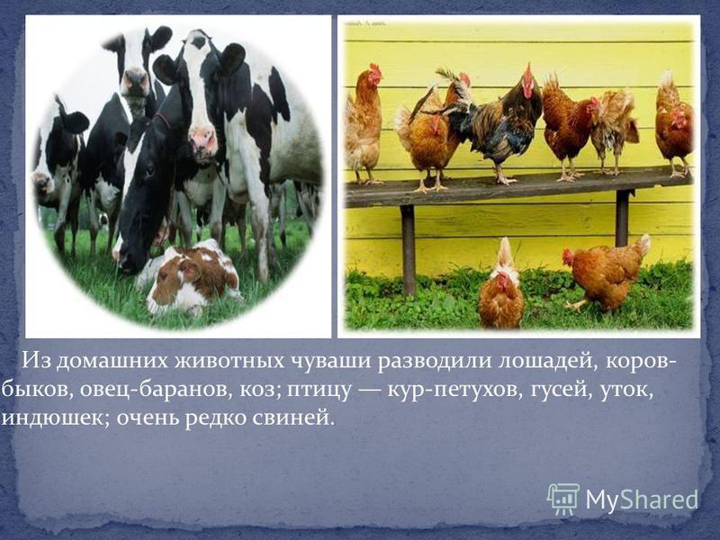 Из домашних животных чуваши разводили лошадей, коров- быков, овец-баранов, коз; птицу кур-петухов, гусей, уток, индюшек; очень редко свиней.