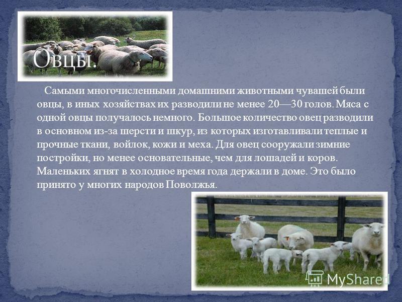 Самыми многочисленными домашними животными чувашей были овцы, в иных хозяйствах их разводили не менее 2030 голов. Мяса с одной овцы получалось немного. Большое количество овец разводили в основном из-за шерсти и шкур, из которых изготавливали теплые