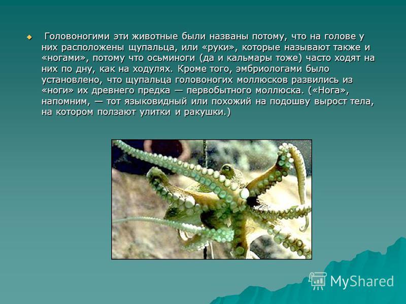 Головоногими эти животные были названы потому, что на голове у них расположены щупальца, или «руки», которые называют также и «ногами», потому что осьминоги (да и кальмары тоже) часто ходят на них по дну, как на ходулях. Кроме того, эмбриологами было