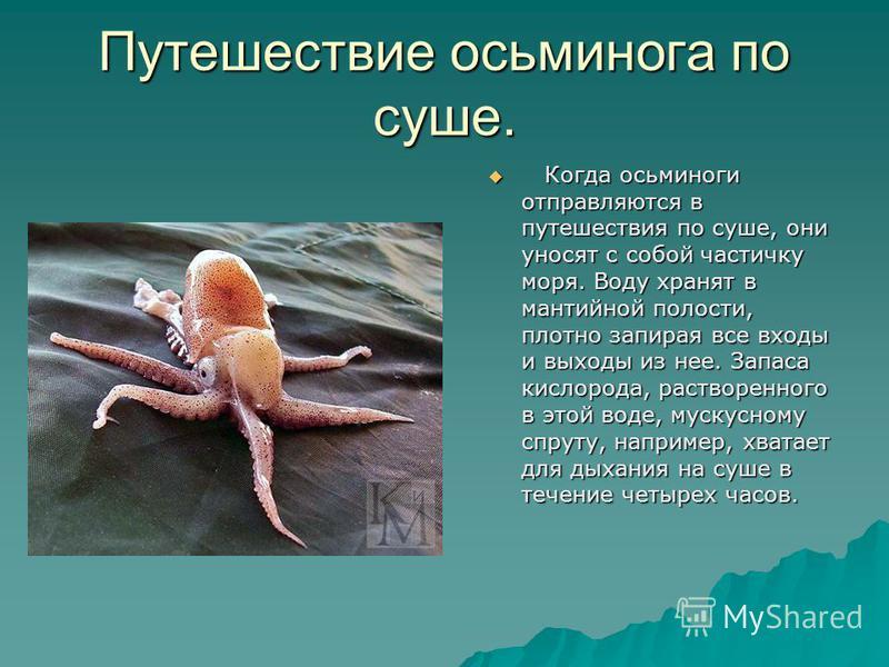 Путешествие осьминога по суше. Когда осьминоги отправляются в путешествия по суше, они уносят с собой частичку моря. Воду хранят в мантийной полости, плотно запирая все входы и выходы из нее. Запаса кислорода, растворенного в этой воде, мускусному с