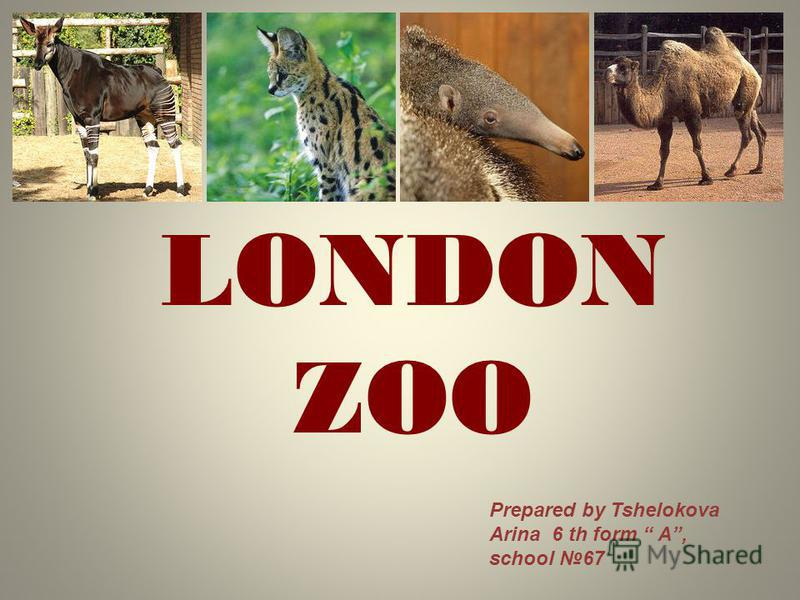 LONDON ZOO Prepared by Tshelokova Arina 6 th form A, school 67