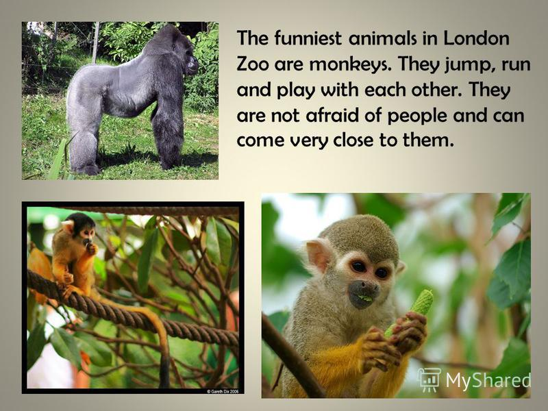 The funniest animals in London Zoo are monkeys. They jump, run and play with each other. They are not afraid of people and can come very close to them.