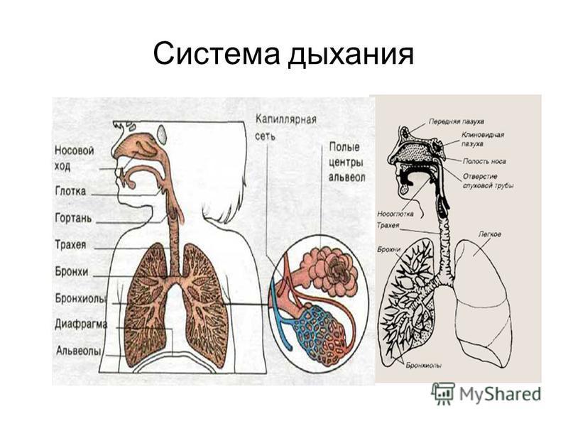 Система дыхания