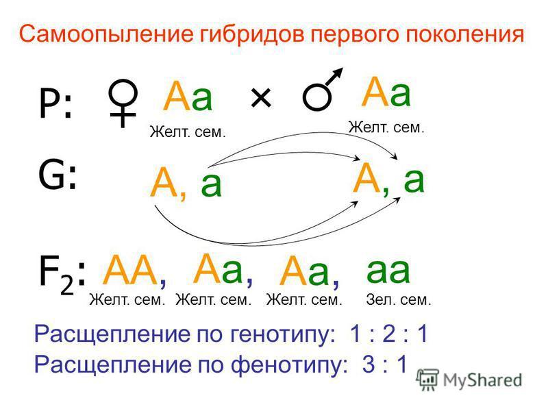 Р: Аа Аа Желт. сем. Желт. сем. G:G: А, а А, а F2:F2: АА, Желт. сем. Аа, Аа, аа Желт. сем.Желт. сем.Зел. сем. Расщепление по фенотипу: 3 : 1 Самоопыление гибридов первого поколения Расщепление по генотипу: 1 : 2 : 1