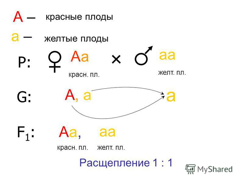 Р: Аа аа краснаой. пл. желт. пл. А – краснаойые плоды а – желтые плоды G:G: А, а а F1:F1: Аа, краснаой. плата желт. пл. Расщепление 1 : 1