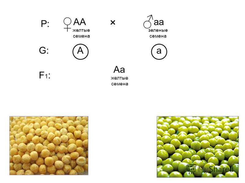 А желтые семена а ААаа АaАa × заленые семена Р: G:G: F1:F1: желтые семена
