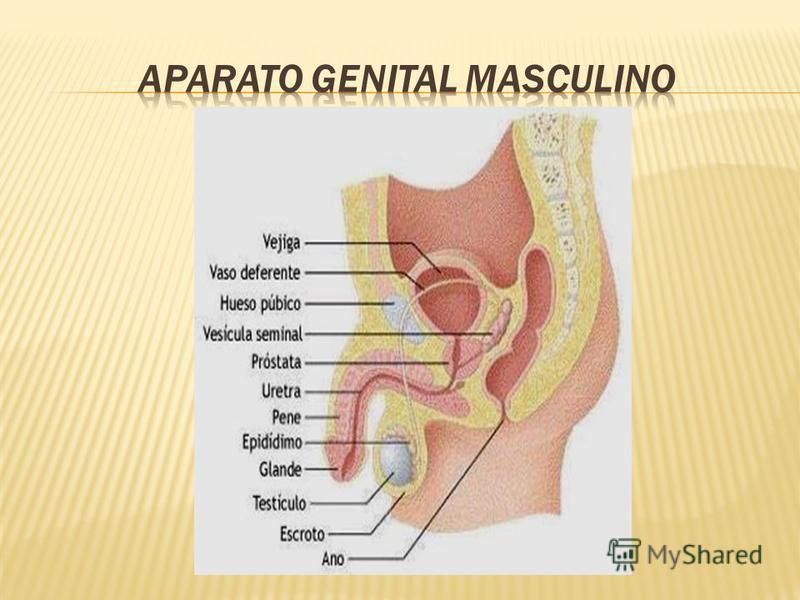 El aparato urinario está muy relacionado embriológica y anatómicamente con el aparato genital, de tal manera que a ambos aparatos se les llama el aparato urogenital.aparato genitalaparato urogenital El aparato excretor tiene una importantisima misión