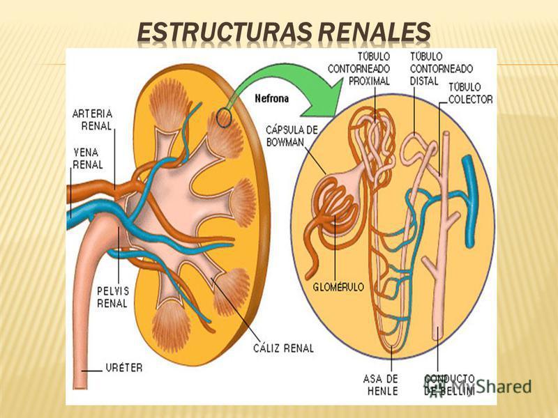 Glomérulos: produce una filtración de líquido que, procedente de los capilares sanguíneos, se dirige hacia los túbulos renales para ser excretado. Durante este trayecto se va modificando la composición de este líquido hasta, finalmente, adquirir la d
