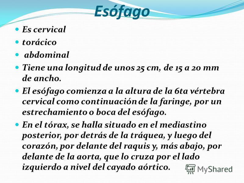 Anatomía del Tubo Digestivo Boca y faringe: La boca contiene los dientes y la lengua. Las glándulas salivales (parótida, submaxilares, sublinguales) están anexas a ella. La faringe es un conducto contráctil, muscular, estriado, que conduce los alimen