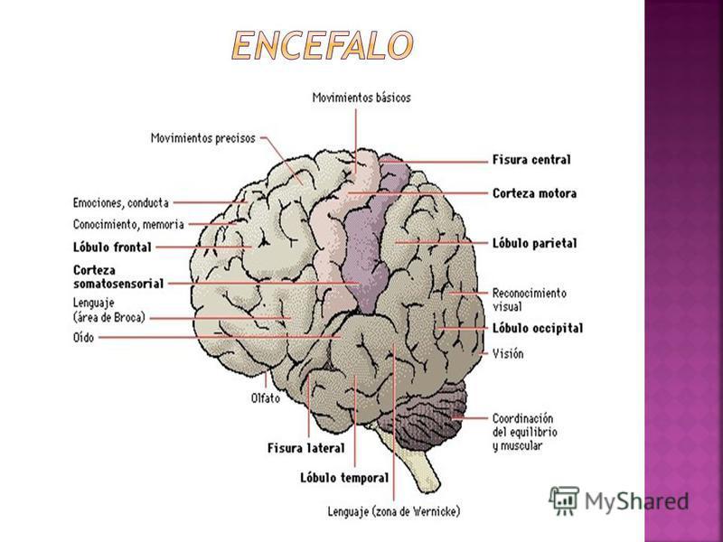 LIQUIDO CEFALORRAQUIDEO O CEREBROESPINAL: UTIL EN DX DE MENINGITIS= PUNCION LUMBAR HIPOFISIS: GLANDULA HIPOFISIARIA, ORGANO ENDOCRINO ADENOHIPOFISIS, NEUROHIPOFISIS NERVIOS CRANEALES: SE ORIGINAN EN EL ENCEFALO EXISTEN EN NUMERO 12 A CADA LADO
