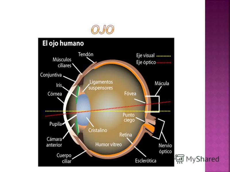 OCUPA UN TERCIO O MENOS DE LA CAVIDAD ORBITARIA 24 MM DE DIAMETRO SEGMENTO DE 2 ESFERAS TRANSMISION NERVIOSA: NERVIO OPTICO TUNICAS DEL OJO: 1. CORNEA 2. ESCLEROTICA 3. TUNICA VASCULAR MEDIA: COROIDES, CUERPO CILIAR, IRIS