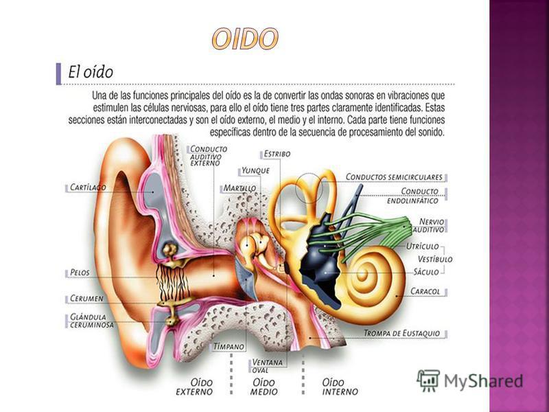 COMPRENDE EL CONJUNTO DE ORGANOS VESTIBULOCOCLEARES (EQUILIBRIO Y AUDICION) ESTUDIO DEL OIDO Y ENFERMEDADES: OTOLOGIA SE DIVIDE EN 3 PORCIONES: 1. EXTERNA 2. MEDIA 3. INFERIOR EXTERNO: CONDUCE EL SONIDO HACIA LOS COMPONENTES DEL OIDO MEDIO E INTERNO