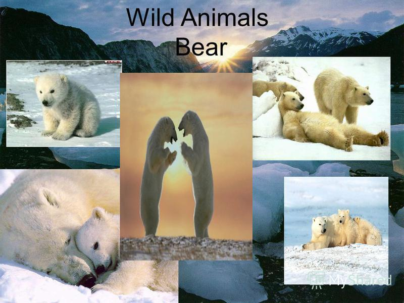 Wild Animals Bear