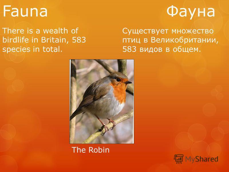 Fauna Фауна There is a wealth of birdlife in Britain, 583 species in total. Существует множество птиц в Великобритании, 583 видов в общем. The Robin
