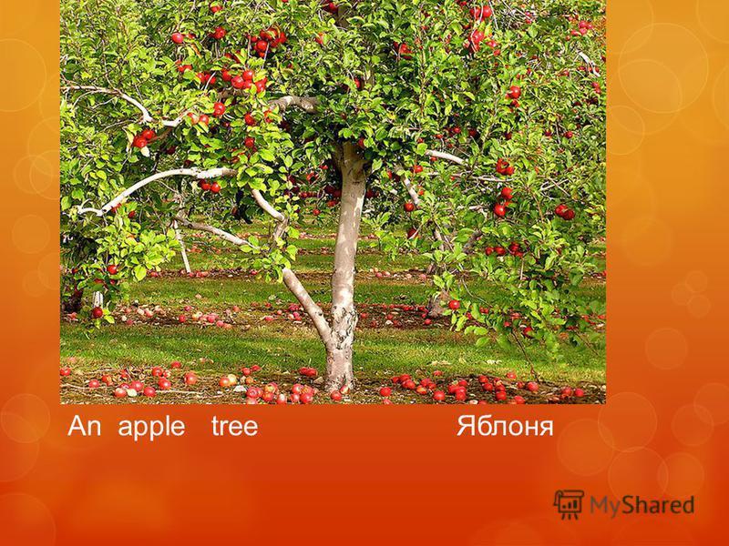 An apple tree Яблоня
