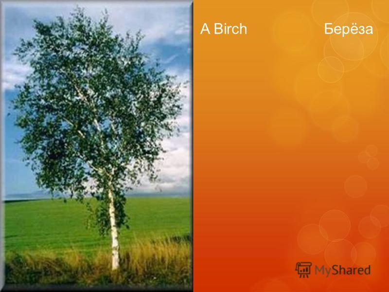 A Birch Берёза