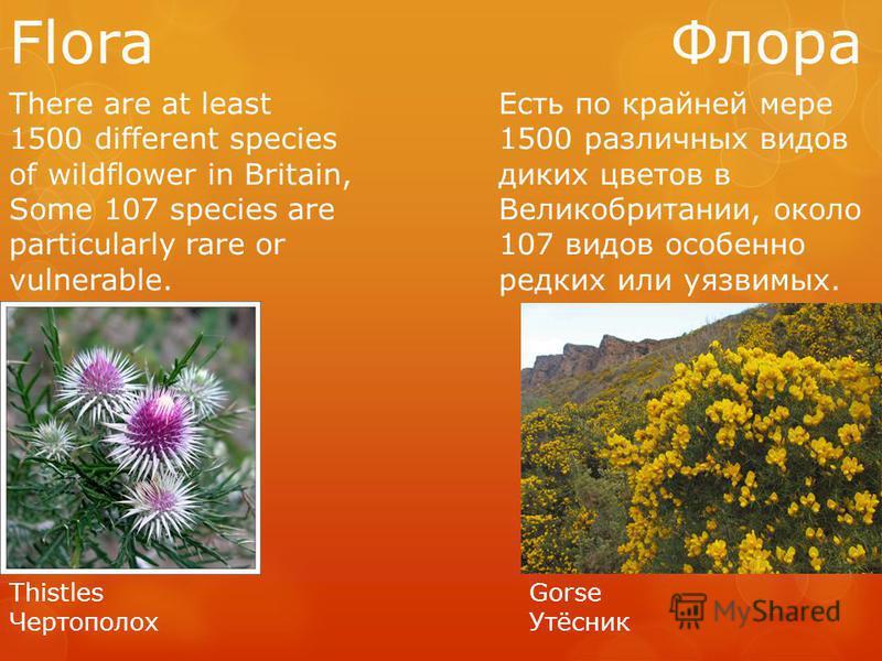 Flora Флора There are at least 1500 different species of wildflower in Britain, Some 107 species are particularly rare or vulnerable. Есть по крайней мере 1500 различных видов диких цветов в Великобритании, около 107 видов особенно редких или уязвимы