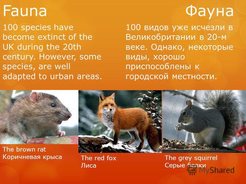 Fauna Фауна 100 species have become extinct of the UK during the 20th century. However, some species, are well adapted to urban areas. 100 видов уже исчезли в Великобритании в 20-м веке. Однако, некоторые виды, хорошо приспособлены к городской местно