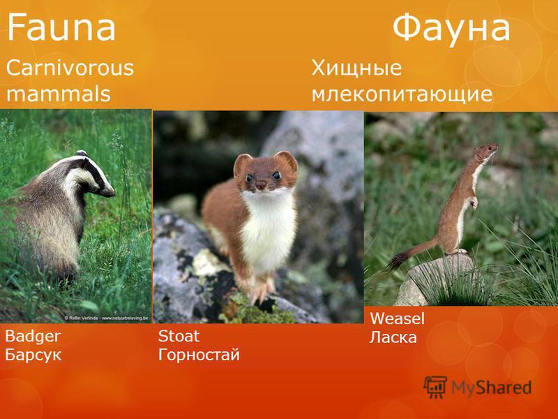 Fauna Фауна Carnivorous mammals Хищные млекопитающие Badger Барсук Stoat Горностай Weasel Ласка