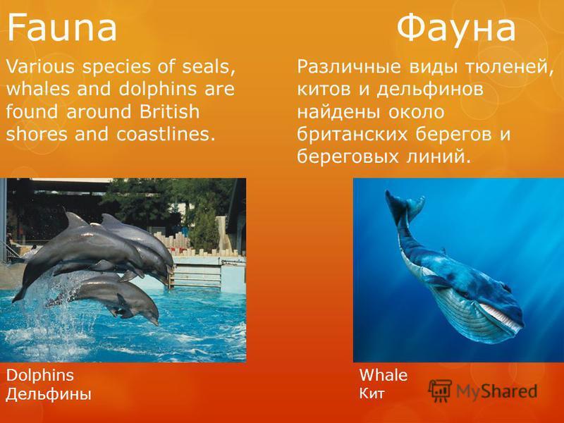 Fauna Фауна Various species of seals, whales and dolphins are found around British shores and coastlines. Различные виды тюленей, китов и дельфинов найдены около британских берегов и береговых линий. Dolphins Дельфины Whale Кит