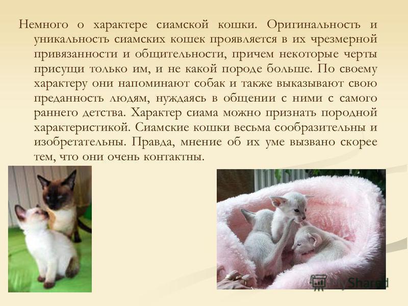 Немного о характере сиамской кошки. Оригинальность и уникальность сиамских кошек проявляется в их чрезмерной привязанности и общительности, причем некоторые черты присущи только им, и не какой породе больше. По своему характеру они напоминают собак и