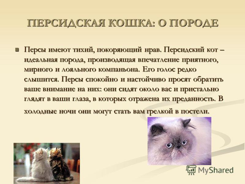 ПЕРСИДСКАЯ КОШКА: О ПОРОДЕ Персы имеют тихий, покоряющий нрав. Персидский кот – идеальная порода, производящая впечатление приятного, мирного и лояльного компаньона. Его голос редко слышится. Персы спокойно и настойчиво просят обратить ваше внимание