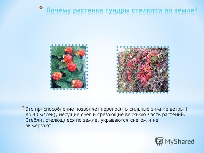 * Растения тундры имеют высоту 15-20 см, у большинства стебель стелющийся. * Короткое, прохладное лето замедляет рост растений. Зимой сильные ветры срезают надземные части.
