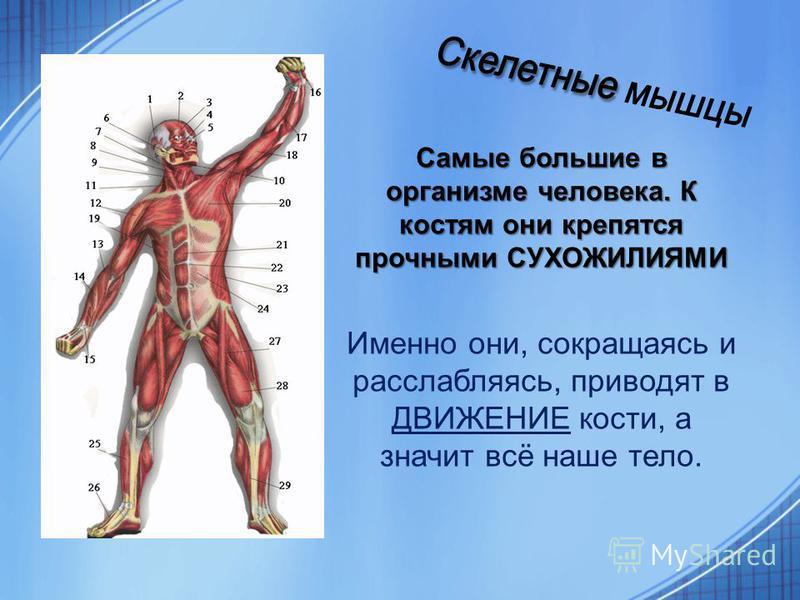 Самые большие в организме человека. К костям они крепятся прочными СУХОЖИЛИЯМИ Именно они, сокращаясь и расслабляясь, приводят в ДВИЖЕНИЕ кости, а значит всё наше тело.