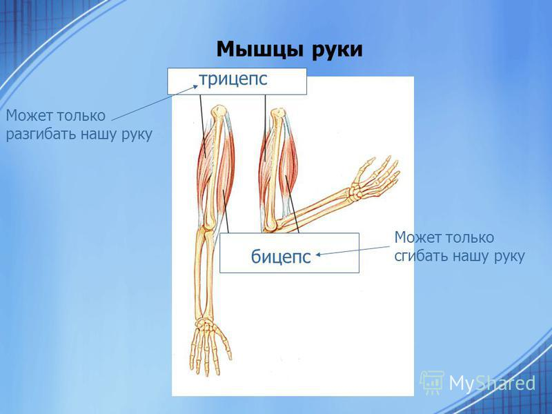 Мышцы руки трицепс бицепс Может только разгибать нашу руку Может только сгибать нашу руку