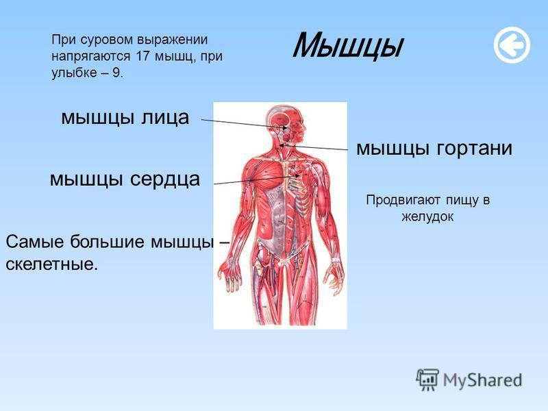 мышцы лица мышцы гортани мышцы сердца Самые большие мышцы – скелетные. Продвигают пищу в желудок При суровом выражении напрягаются 17 мышц, при улыбке – 9.