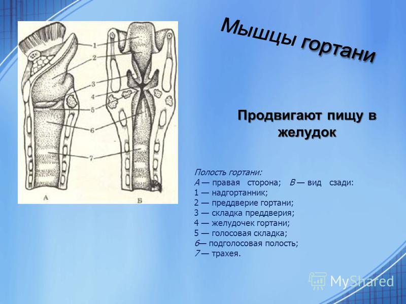 Полость гортани: А правая сторона; В вид сзади: 1 надгортанник; 2 преддверие гортани; 3 складка преддверия; 4 желудочек гортани; 5 голосовая складка; 6 под голосовая полость; 7 трахея. Продвигают пищу в желудок