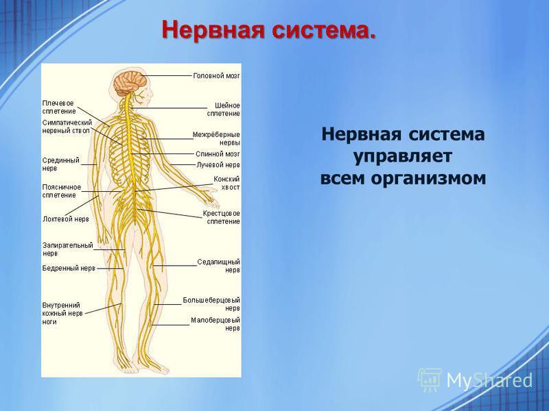 Нервная система. Нервная система управляет всем организмом