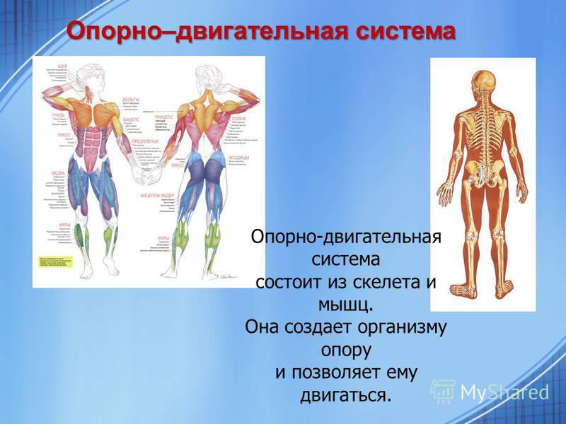 Опорно–двигательная система Опорно-двигательная система состоит из скелета и мышц. Она создает организму опору и позволяет ему двигаться.