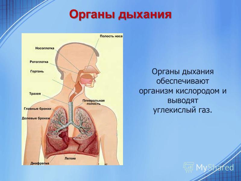 Органы дыхания Органы дыхания обеспечивают организм кислородом и выводят углекислый газ.