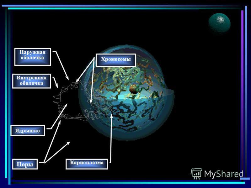 13 Ядро главный компонент клетки. Функции: -транспорт веществ в ядро и из него; регуляция процессов обмена веществ в клетке; хранение наследственной информации и ее воспроизводство; синтез РНК: информационной, транспортной, ри-босомальной (рибосомной