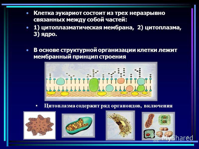 6 Клетка эукариот состоит из трех неразрывно связанных между собой частей: 1) цитоплазматическая мембрана, 2) цитоплазма, 3) ядро. В основе структурной организации клетки лежит мембранный принцип строения Цитоплазма содержит ряд органоидов, включения