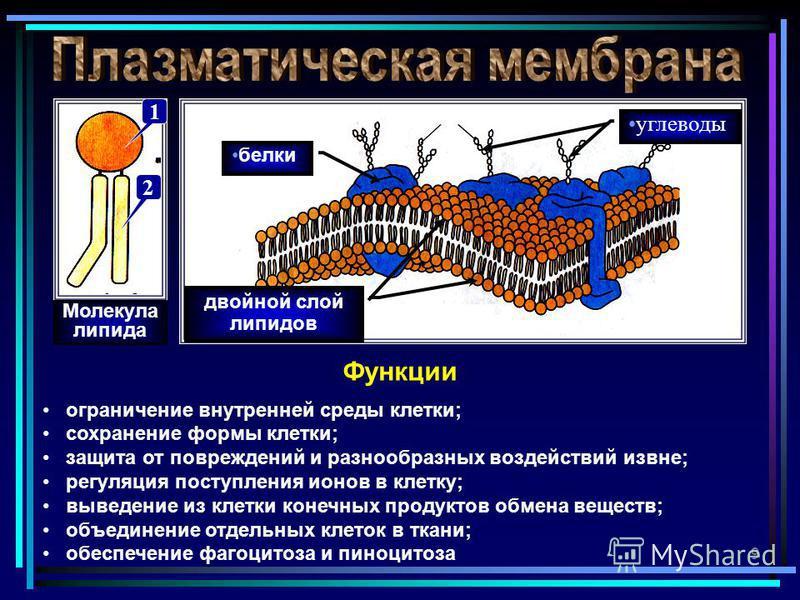 9 двойной слой липидов белки углеводы Функции ограничение внутренней среды клетки; сохранение формы клетки; защита от повреждений и разнообразных воздействий извне; регуляция поступления ионов в клетку; выведение из клетки конечных продуктов обмена в