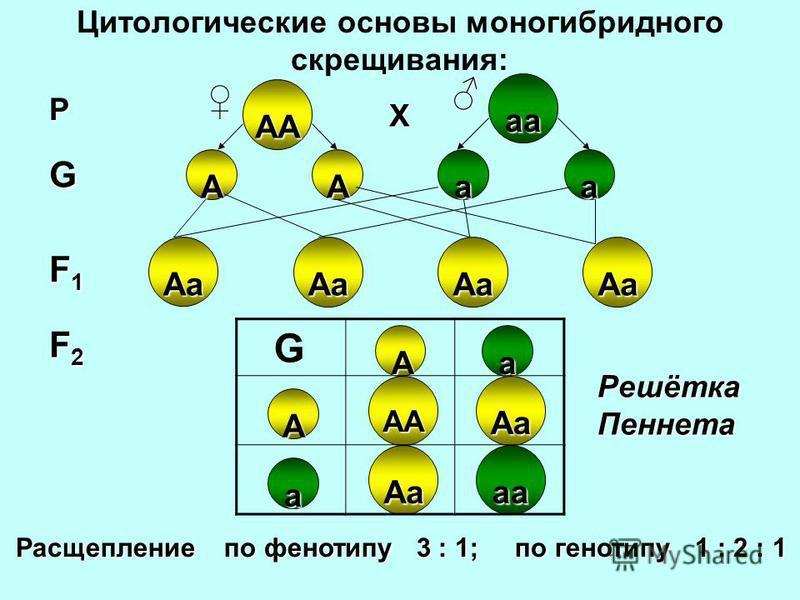 Цитологические основы моногибридного скрещивания:Аа Аа А Аа Аа Аа Аа АА АА А А А а а а а а а G F2F2F2F2 P G F1F1F1F1 Расщепление по фенотипу 3 : 1; по генотипу 1 : 2 : 1 Расщепление по фенотипу 3 : 1; по генотипу 1 : 2 : 1 Решётка Пеннета X