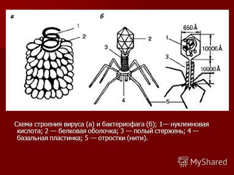 Схема строения вируса (а) и бактериофага (б); 1 нуклеиновая кислота; 2 белковая оболочка; 3 полый стержень; 4 базальная пластинка; 5 отростки (нити).