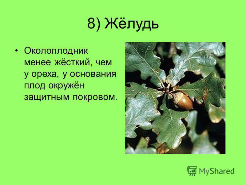 8) Жёлудь Околоплодник менее жёсткий, чем у ореха, у основания плод окружён защитным покровом.