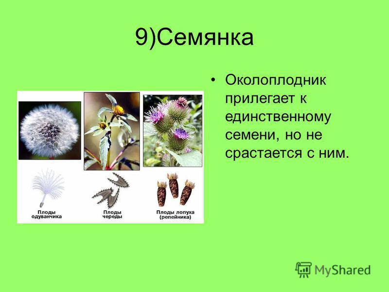9)Семянка Околоплодник прилегает к единственному семени, но не срастается с ним.