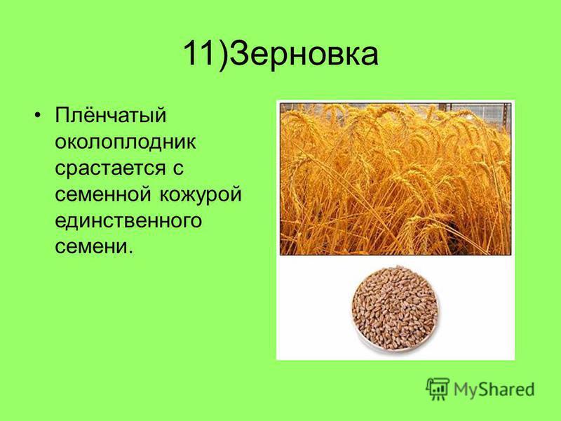 11)Зерновка Плёнчатый околоплодник срастается с семенной кожурой единственного семени.