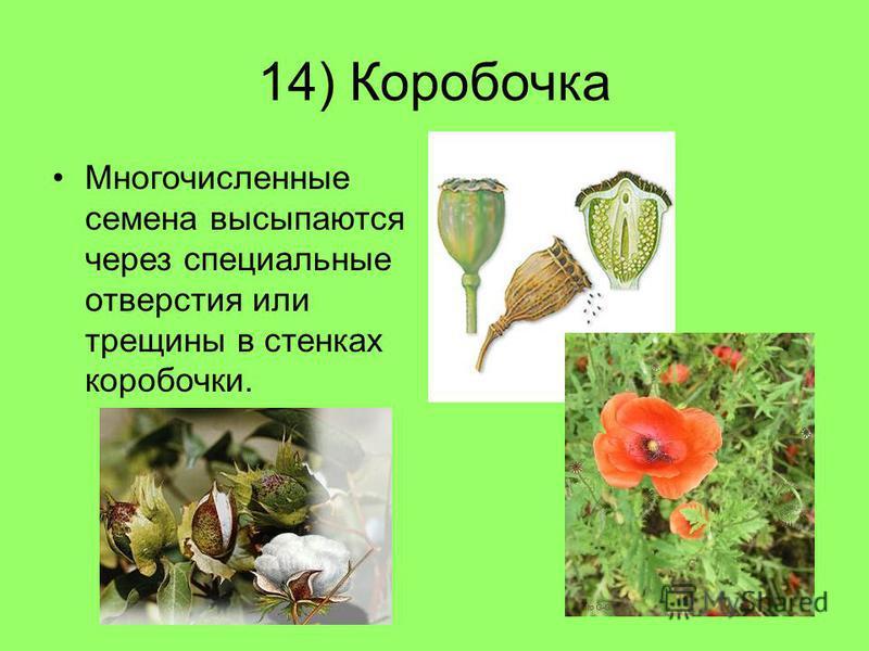 14) Коробочка Многочисленные семена высыпаются через специальные отверстия или трещины в стенках коробочки.