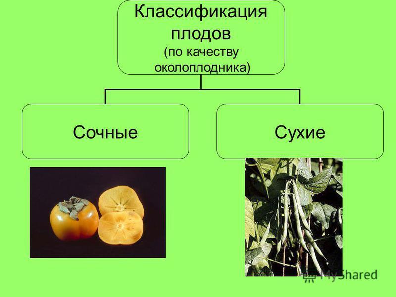 Классификация плодов (по качеству околоплодника) Сочные Сухие