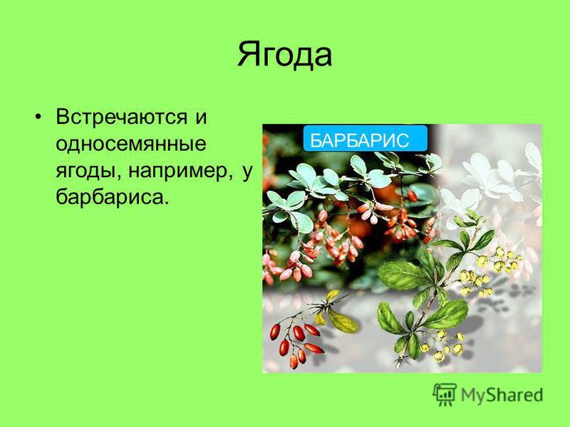 Ягода Встречаются и односемянные ягоды, например, у барбариса. БАРБАРИС