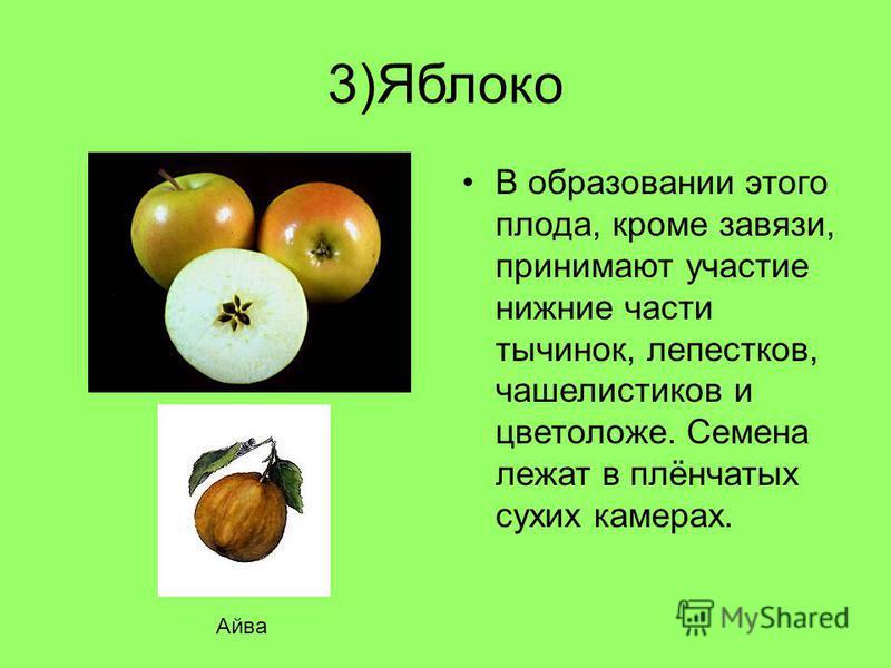 3)Яблоко В образовании этого плода, кроме завязи, принимают участие нижние части тычинок, лепестков, чашелистиков и цветоложе. Семена лежат в плёнчатых сухих камерах. Айва