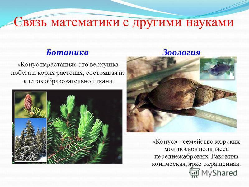 Связь математики с другими науками Ботаника Зоология « Конус нарастания» это верхушка побега и корня растения, состоящая из клеток образовательной ткани « Конус» - семейство морских моллюсков подкласса переднежабровых. Раковина коническая, ярко окраш