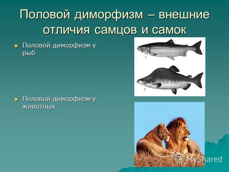 Половой диморфизм у рыб Половой диморфизм у рыб Половой диморфизм у животных Половой диморфизм у животных Половой диморфизм – внешние отличия самцов и самок