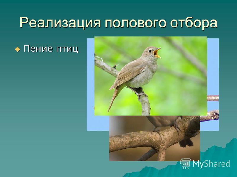 Реализация полового отбора Пение птиц Пение птиц